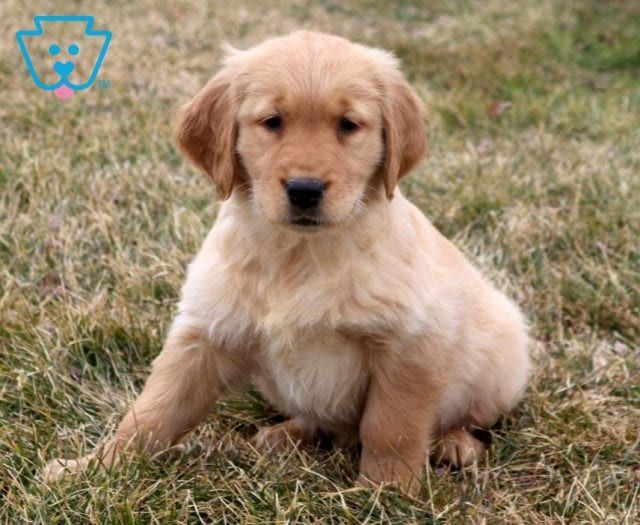 Dodger Retriever Puppy Puppies For Sale Puppies