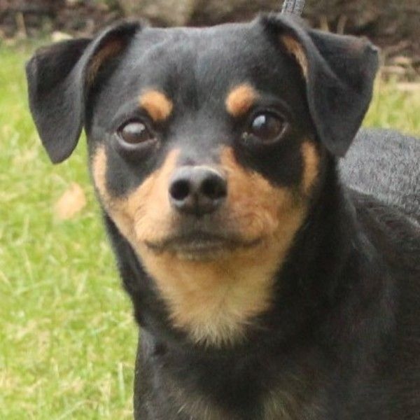Miniature Pinscher Dog For Adoption In Eaton | Min Pin