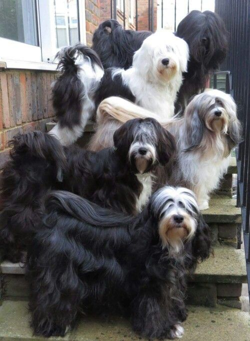 37 Best Images About Tibetan Terriers On Pinterest