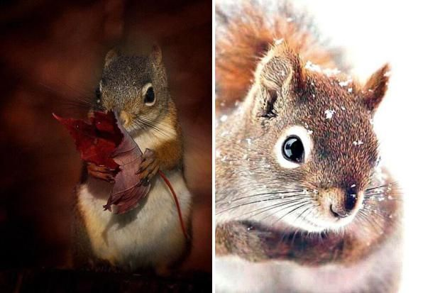 Esquilo vermelho de Hokkaido (Foto: Reprodução)