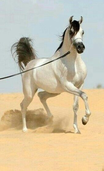 Gorgeous platinum grey Arabian horse!