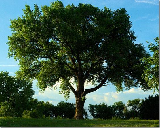 Trees trees stats trees kansas states cottonwood trees stats trees