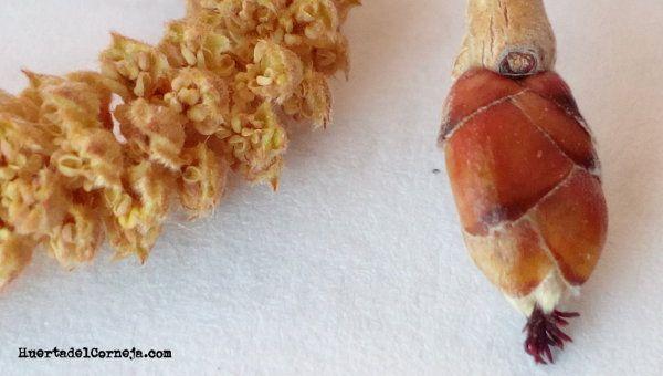 detalle flor masculina y femenina de avellano