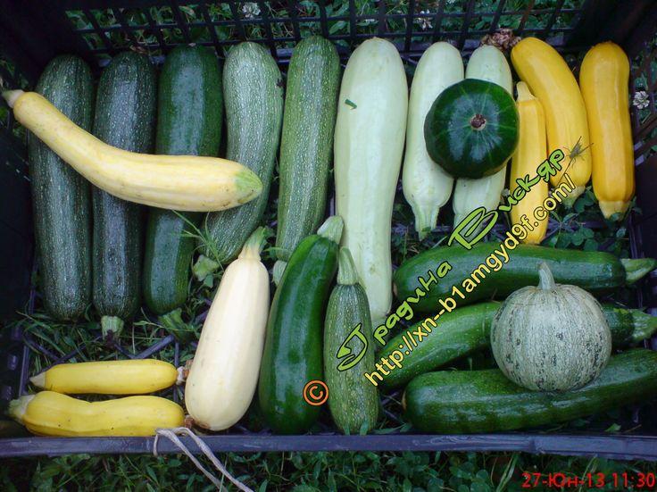 Цуккини - сорта, выращивание, болезни, технологии