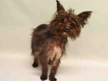 Check out Bella's profile on AllPaws.com and help her get adopted! Bella is an adorable Dog that needs a new home. https://www.allpaws.com/adopt-a-dog/yorkshire-terrier-yorkie-mix-poodle-unknown-type/5530367?social_ref=pinterest