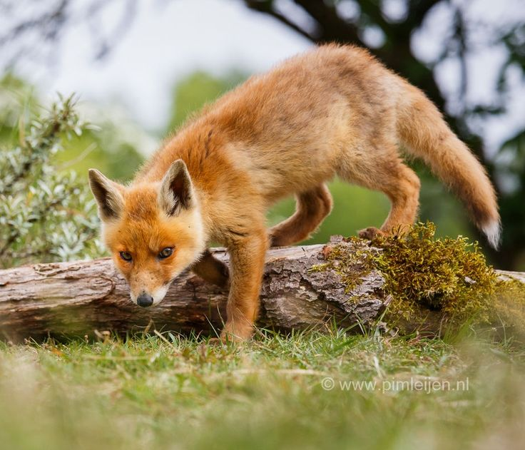 Young Red Fox Prowlin' About. (by Pim Leijen).