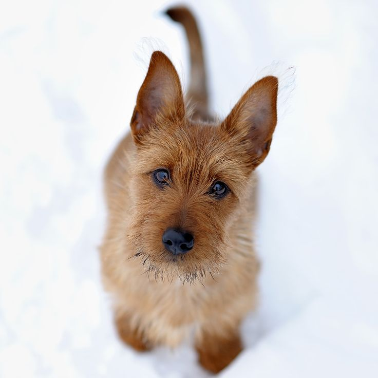 Australian Terrier   Australian Terrier - Razas perros   Mascotas.