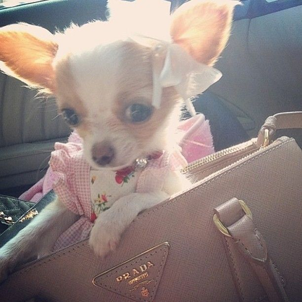 Puppy in a Prada purse. | The 50 Best Dogs In Bags On Instagram