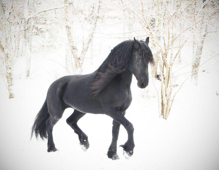 Risultati immagini per cavalli neri nella neve