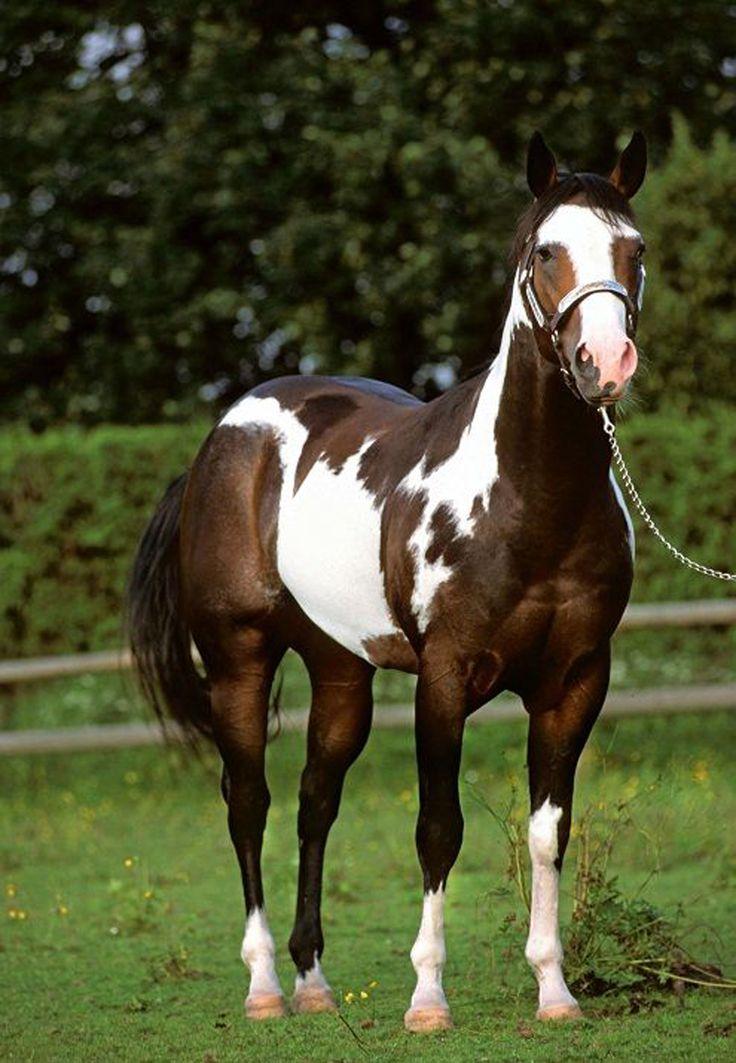 1502 best images about Paint/Pinto Horses on Pinterest ...
