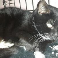 Simcoe, Ontario - Domestic Shorthair. Meet Newferious, a for adoption. https://www.adoptapet.com/pet/20289843-simcoe-ontario-cat