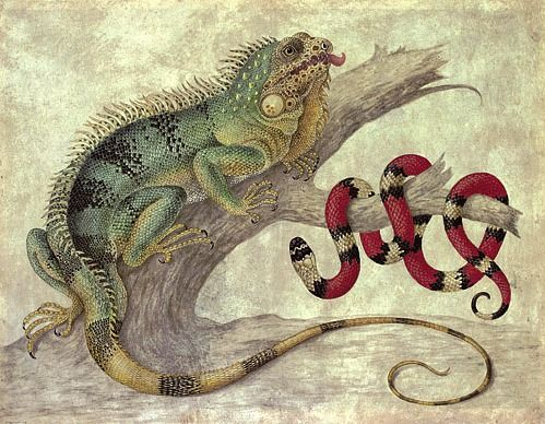 Maria Sibylla Merian Iguana and Coral Snake Late 17th - early 18th century