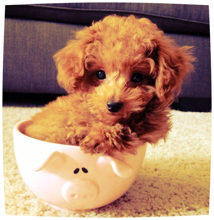 My baby boy Alfie, a red toy poodle