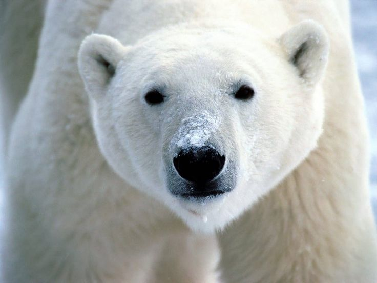 What kind of bear dissolves in water? A polar bear!!