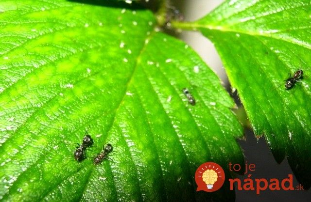 Jahody a mravce nie sú dobrou kombináciou. Pred dvoma rokmi sa im zapáčilo v mojom jahodovisku a bolo ich toľko, že nám z jahôd takmer nič nechali.