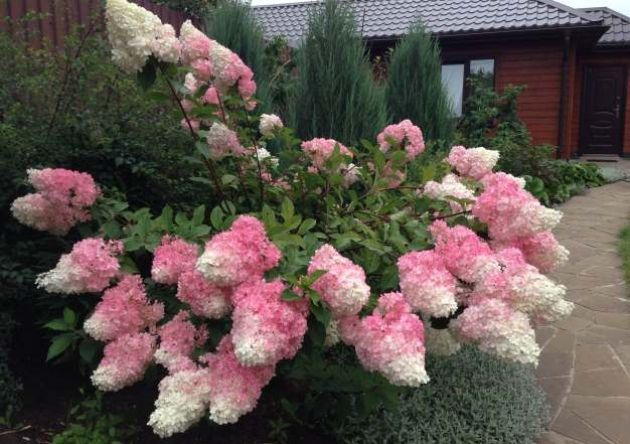 Нашему саду, который находится в Подмосковье, всего четыре года. Изначально очень хотелось создать сад минимального ухода, который цветет с ранней весны и до мороза. Думаю, что получилось. Расскажу …