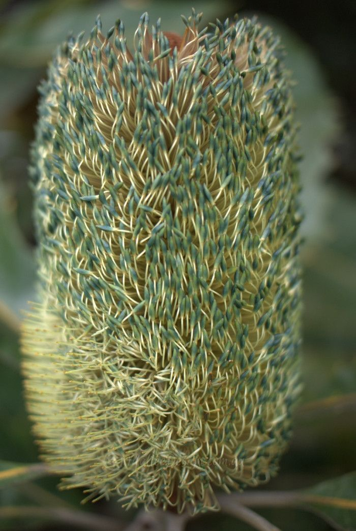 The many colours of Banksia robur