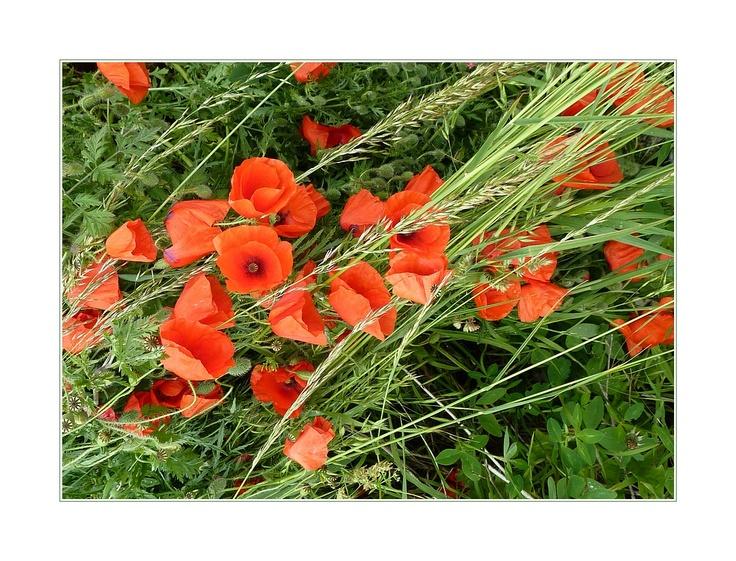 klaprozen I poppies