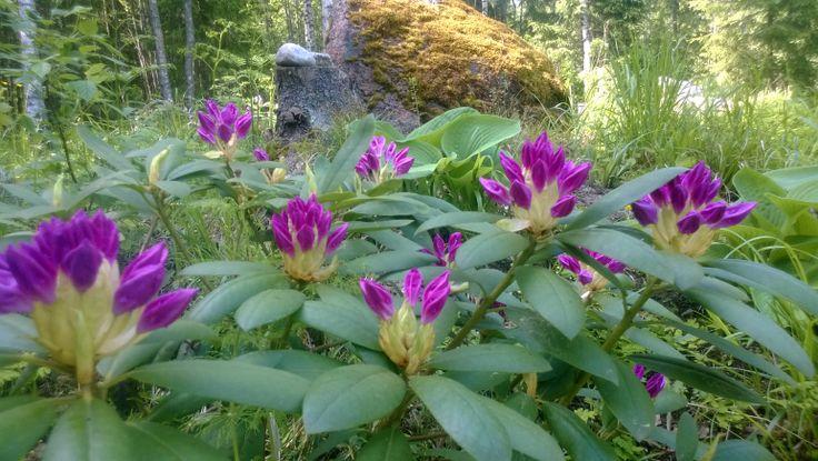 Alppiruusut alkavat kukkia.