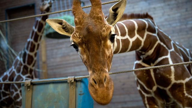 HORROR~ Marius the giraffe killed at Copenhagen zoo despite worldwide protests~ Young giraffe unsuitable for breeding was shot, dissected in public & then fed to lions despite offers of a new home. The death of Marius, an 18-month-old giraffe considered useless for breeding because his genes were too common, was followed by his dissection in front of a large crowd, including fascinated-looking children, prompting outrage & protests around the world.