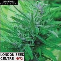 This Hindu Kush / Skunk Hybrid is classic, and loved everywhere. It's a very strong plant and heavy producer in soil and hydro.  Plant Height:  Medium; Indica/Sativa Mix Buzz  Type:  Stoney yet High; All-Around Buzz  T.H.C. Level:  Medium; 8-15%  Yield (Dried grams per square meter in a Sea of Green):  400-500  Harvest Month:  September - October