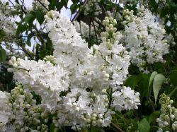 weißer flieder weißer flieder duftende blüten haus vulgaris mme ...