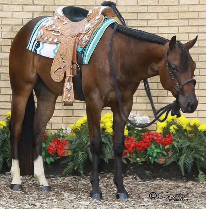Bosal and western pleasure show saddle on a bay aqha