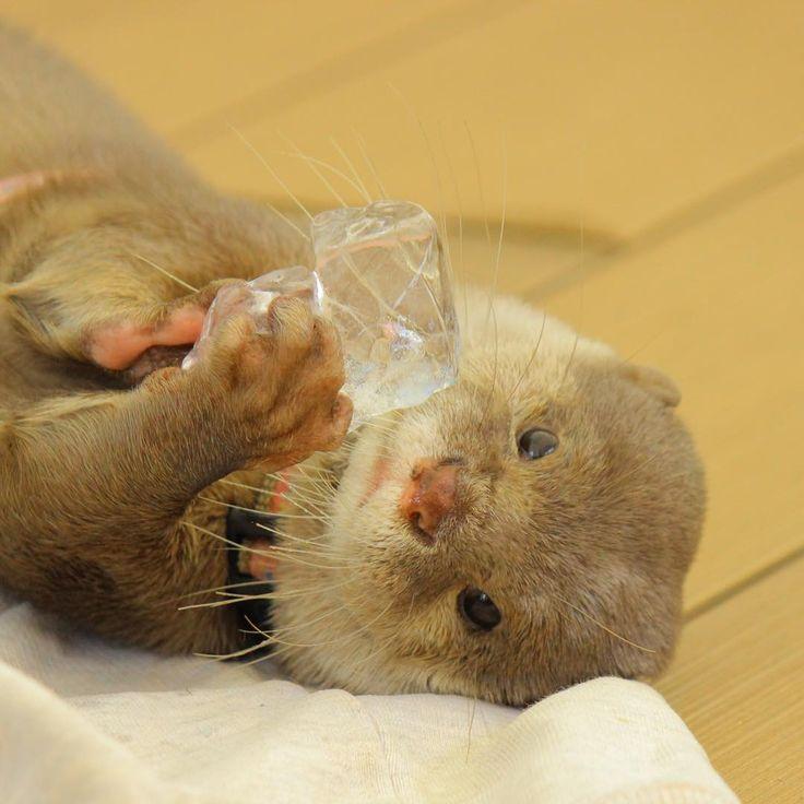 2016/08 半年前の写真ですが、ハクちゃんと氷。 氷が宝石みたい🐻💎 #Aquarium #水族館 #サンシャイン水族館 #池袋 #Tokyo #カワウソ #コツメカワウソ #otter #animal #adorable #仕草 #kawaii #興味 #氷 #綺麗 #beauty #ハク #Haku #ice #散歩 #ごろん