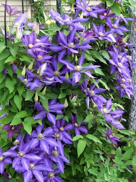 17 Best Images About Clematis Care Tips On Pinterest
