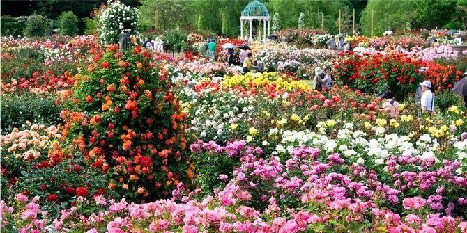 Taman Bunga Ros Di Rumah