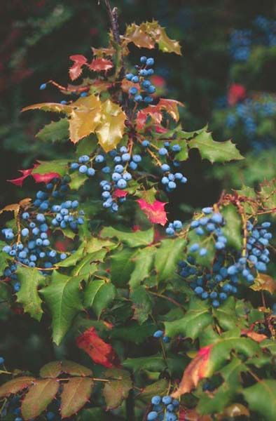"""Oregon Grape (Mahonia aquifolium) Sunset Zones 2-12, 14-24. Flower scent is like """"lemons mixed with honey and spice."""" Fragrant yellow blooms early spring (sometimes late summer). 6'-10' tall, 5' wide, spreading by suckers. Edible blue-black fruit. Best w/shade in hottest areas. Little to regular water."""