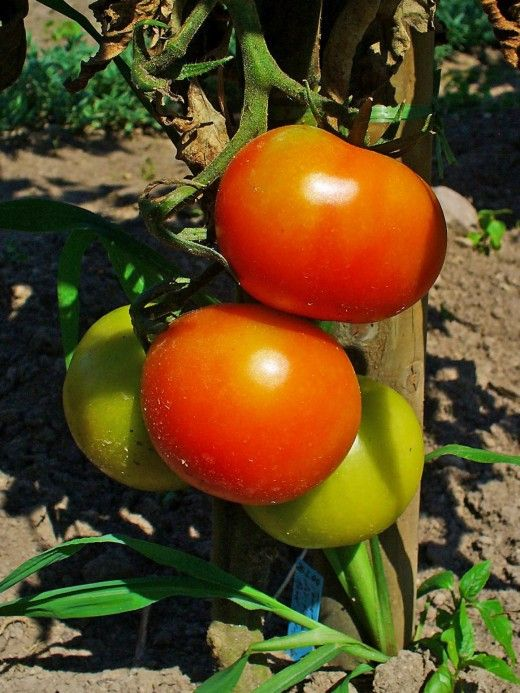 Beautiful firm ripe tomatoes - ready to be picked and enjoyed - Heaven!