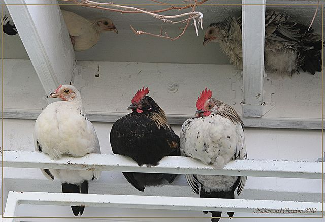 Best 25 Funny Chicken Pictures Ideas On Pinterest: Best 25+ Chicken Roost Ideas On Pinterest