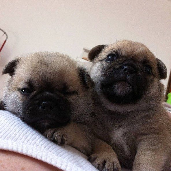 What happens when you cross pugs with other breeds , click the picture to access more cute pictures of pug mixes!