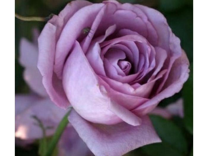 Trandafiri altoiti Bucuresti - Anunturi gratuite - anunturili.ro