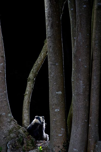 Wildlife Photography 2013: Badger in the Woods