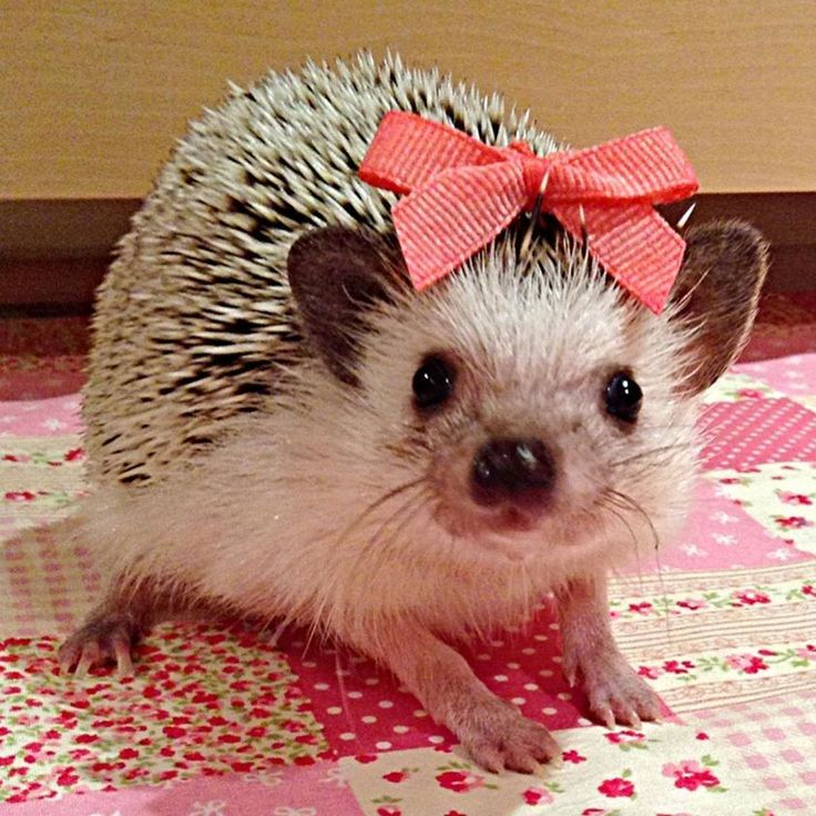 ❤️Hedgehogs  i think i need one of these, they seem so lovable!!!!!!