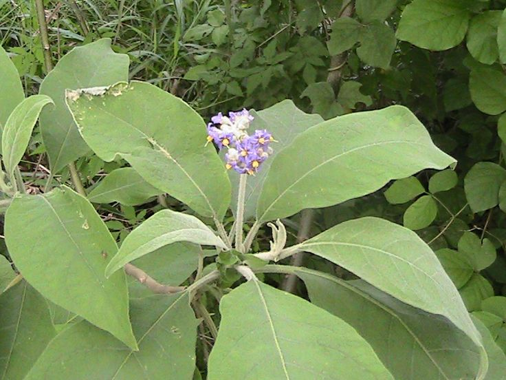 tobacco plant - common weed at Dorrington Park