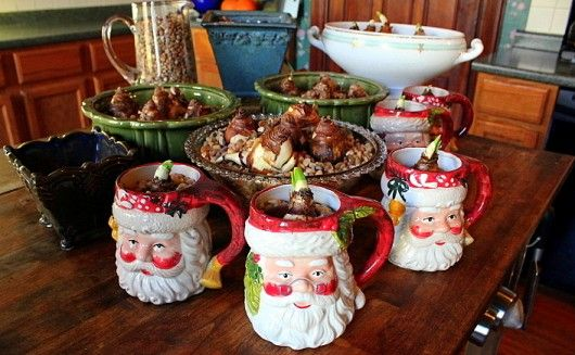 aGardenForTheHouse.com: Tropical Bulbs in Pebbles, Water, and Gin - Plant Narcissus for fragrant blooms in time for the December holidays. -- If you want the bulbs to bloom in time for Christmas, you'll need to plant them by November 15!