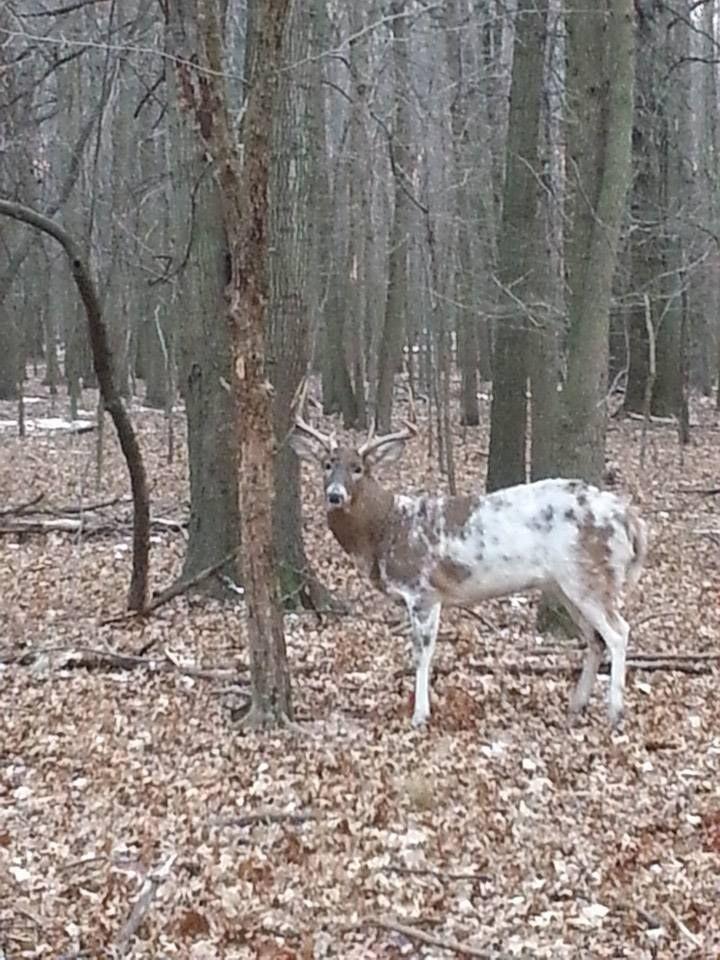 Piebald Deer                                                                                                                                                     More