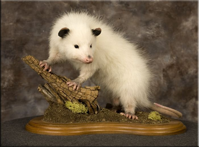 32 best images about Taxidermy on Pinterest | Ice shanty ...