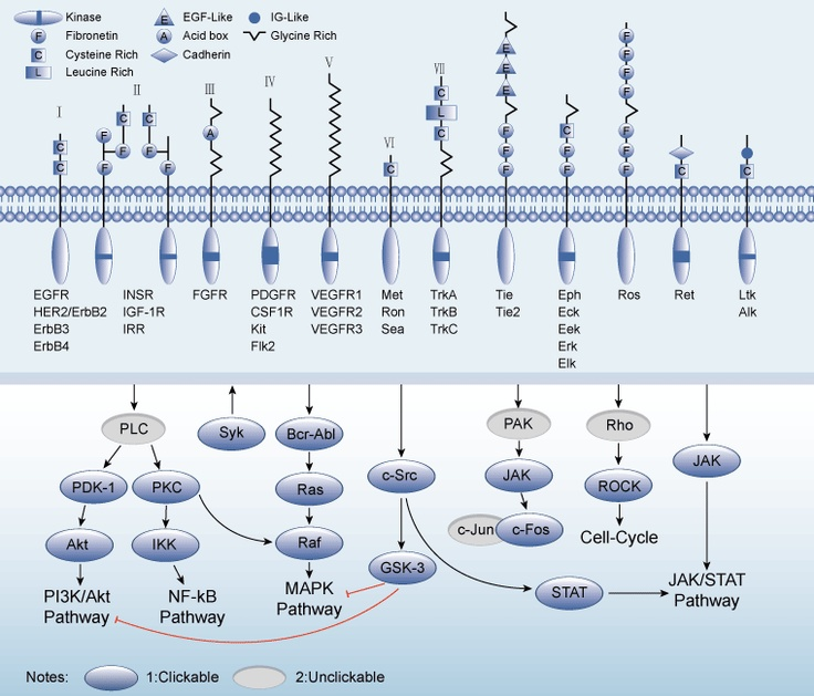 Receptor tyrosine kinases (RTK)s are very important signaling pathway,  which not only include growth factor receptors such as EGFR(HER), VEGFR, PDGFR, FGFR, IGF-1R, Mast/stem cell growth factor receptor (c-Met) and HER2, but also other gene products which are expressed by the oncogenes such as SRC, Bcr, c-Met and Abl as well.