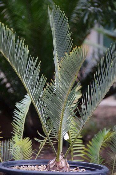 Encephalartos »friderici guiliemi