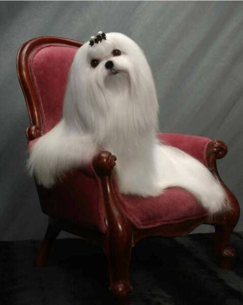 Maltese     Beautiful but I don't think this dog would have a very fun life. How could she play with hair like that.