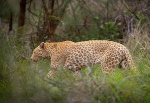 This is a shot of a leopard in South Africa that's suspected of having erythrism, a genetic mutation believed to cause an excess of red pigments, or a deficit of dark ones.
