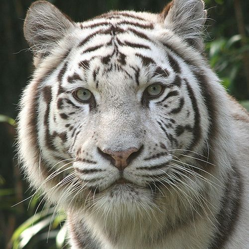 Fun & Interesting Facts About White Tigers