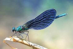1000  images about dragonfly on Pinterest | Damselflies Dragon Flies ...