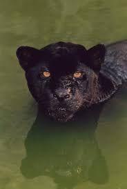 Bildresultat för black jaguar