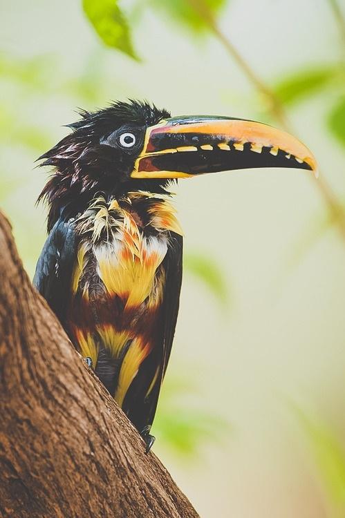 Arktiksen ohella toinen WERAn pysyvistä kampanjakohteista on sademetsät kaikkialla maailmassa. #toucan #rainforest #colourful
