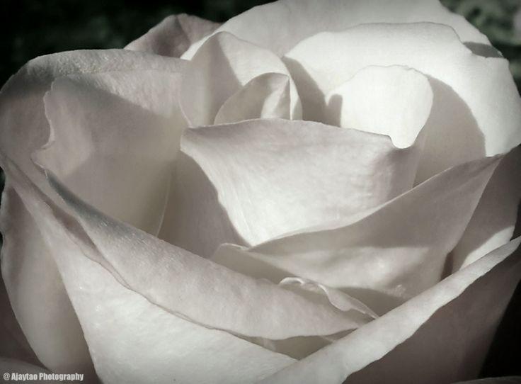 Rose - B & W - 16 - Ajaytao